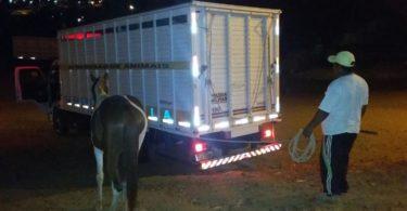 Caminhão da Policia Recolhendo com cuidado os animais soltos na pista da BR 367